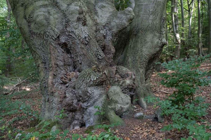 Verwachsener Baumstamm