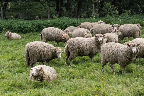 Schafe im Tal des Olpe Baches
