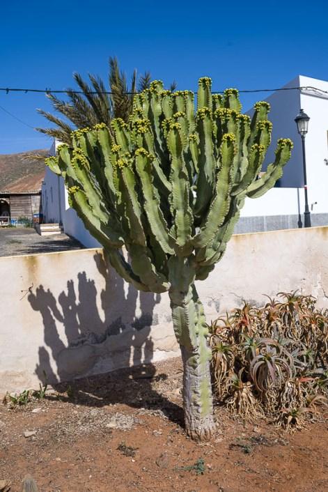 Kaktus im Vorgarten