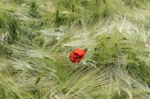 Mohnblume im Gerstenfeld