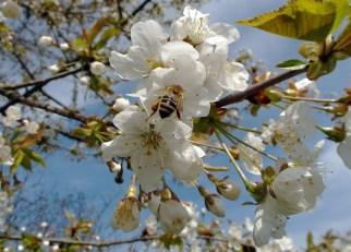 Kirschblüte (April 2013)