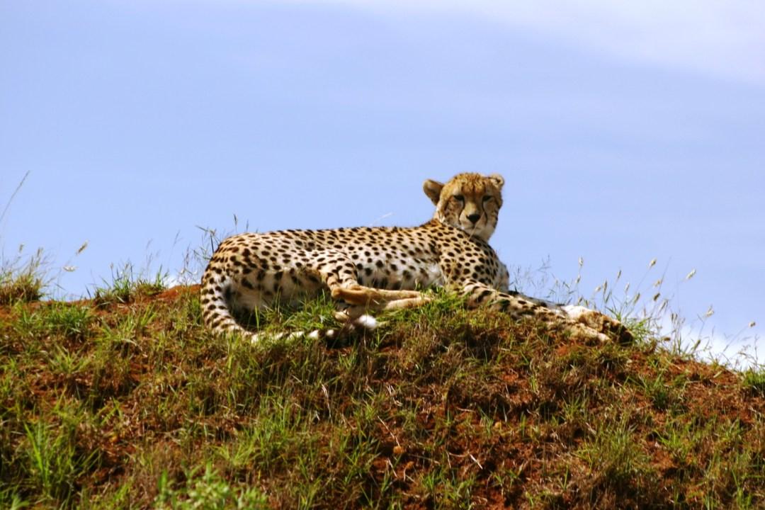 Cheetah lounging Maasai Mara Park, Kenya Nov 2004