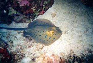 Blue Spotted Ray Ras Muhammed National Park Sharm el Sheik, Egypt 2001