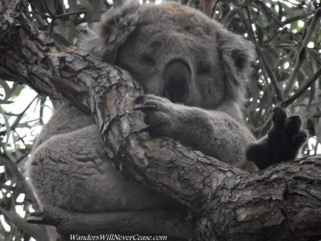 Wild Koala Australia