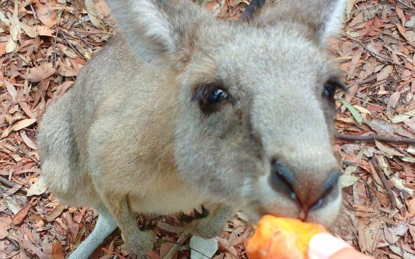 Get Close To Wild Kangaroos in NSW!
