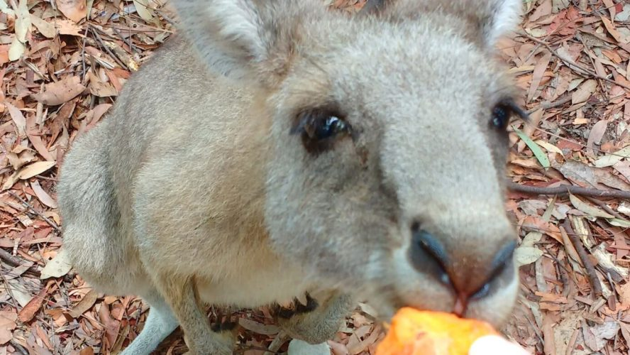 Get Close To Wild Kangaroos in NSW!