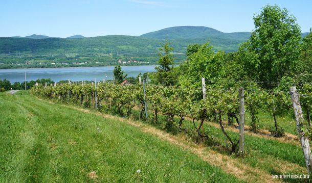 Grape vines view of St. Lawrence River Vignoble de Mitan Quebec Food Tour Ile d'Orleans food tasting Quebec City Day Trip foodie travel