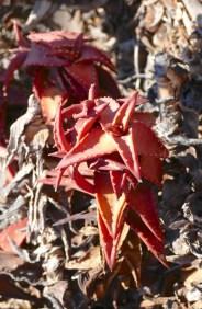 Pearson's Aloe