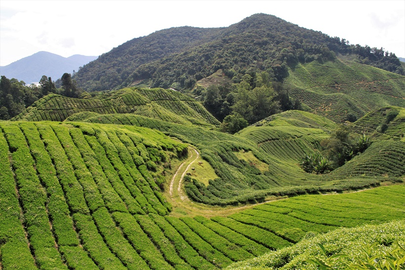 Tea Plantation Cameron Highlands