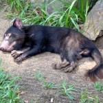 Sleepy Tasmanian Devil