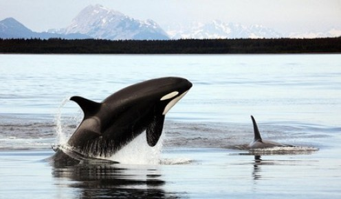 an orca jumping out of the baby blue water