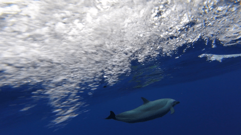 a dolphin swimming under the surface