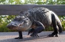 alligator-walking-02