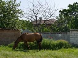 Wozu auch Pferde einzäunen oder anbinden. Freiheit für alle in Bulgarien.