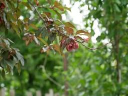 Die Pflaume für die deftige Pflaumensoße wächst direkt vor dem Haus.
