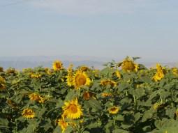 Sonnenblumen mit den iranischen Bergen im Hintergud.//Sunflowersand the iranian mountains behind.
