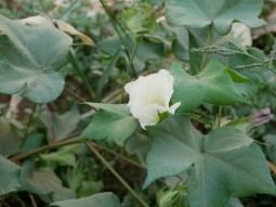 Blühende Baumwolle.// Blossoming cotton.