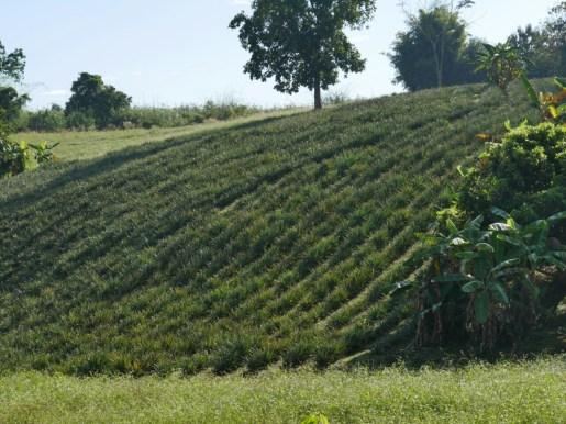 Ananasplantage.// Ananas plantation.