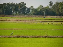 Rice fields.// Reisfelder.