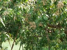 Litschibaum.// Lychee tree.