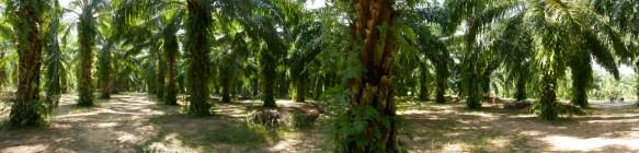 Palm oil plantation.// Palmölplantage.