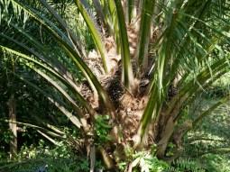 Oil palm fruits.// Ölpalmenfrüchte.
