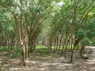 Kautschukplantage.// Rubber plantation.