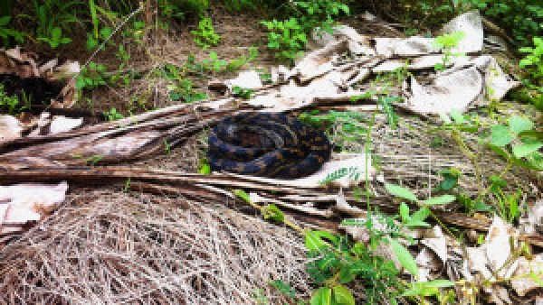 Slangen-in-Australië
