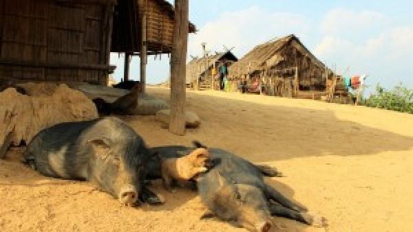 Hondje speelt met varken Lahu Village