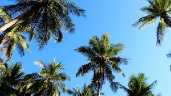 Koh Tao palmtrees
