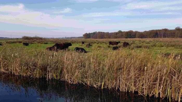 Trekvogelpad etappe 8 koeien