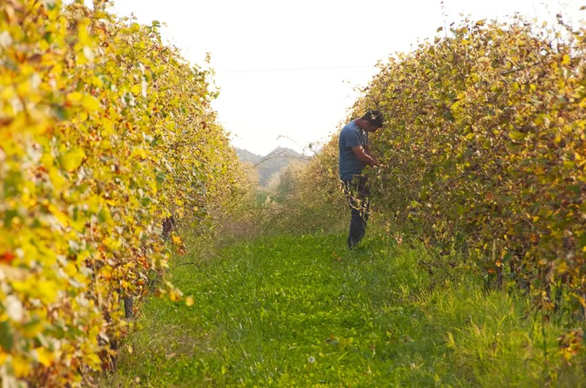 Vendemmia (grape harvest) of the Buglioni vineyard just outside the Dimora
