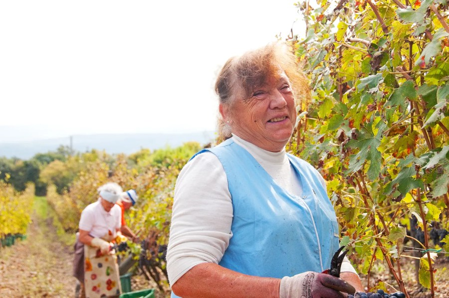 Nonna, working the vineyard at Sante Marie di Vignoni near Bagno Vignoni, Italy