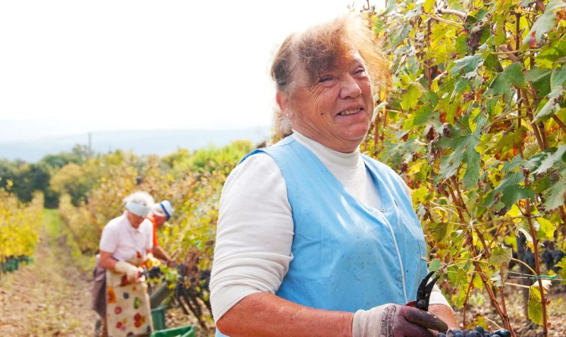 Nonna in the vineyard of Sante Marie di Vignoni, Tuscany, Italy