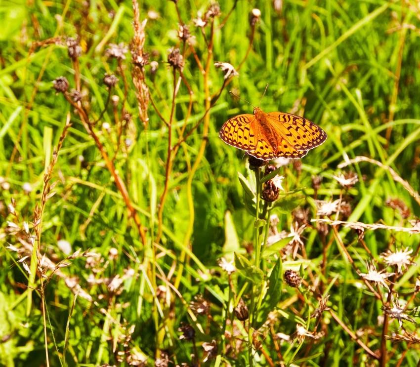 butterfly in field, Italy