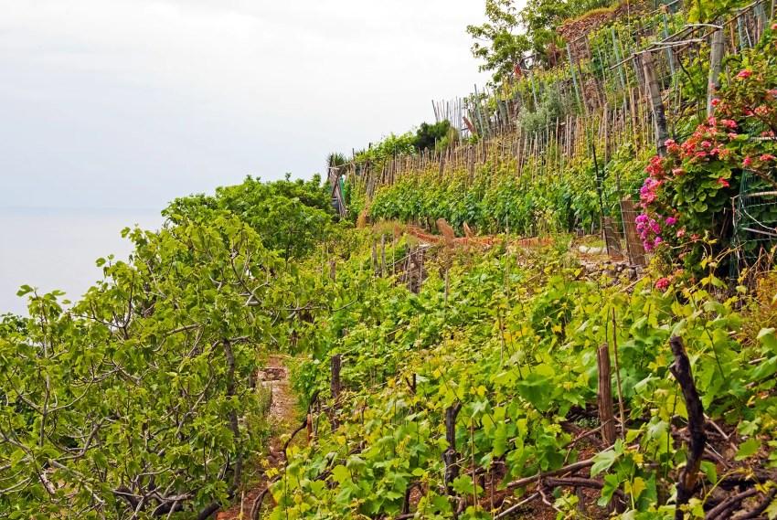 Vineyards, Italy