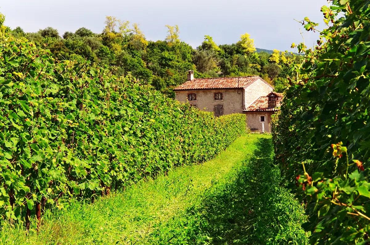 vineyard and life