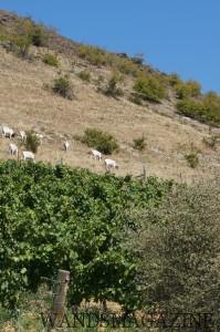 岩山の麓にある葡萄畑の上方では山羊が草を食んでいた