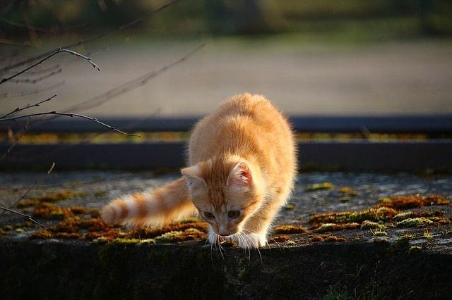 chat roux automne