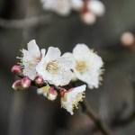 梅の花開く