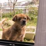 リカちゃん 預かり犬 保護犬