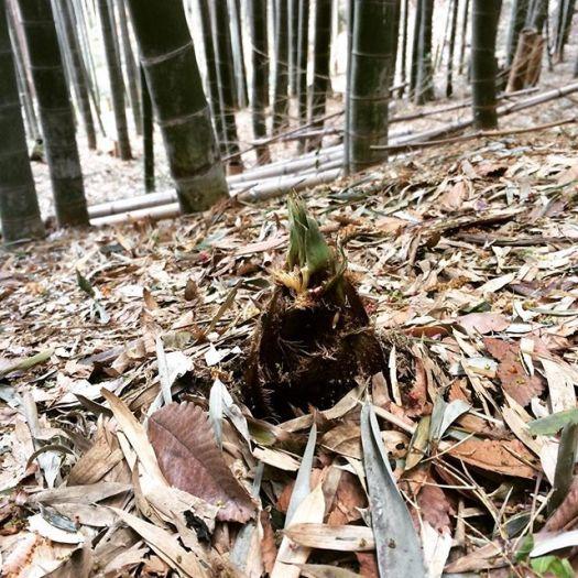 竹の子を掘りました