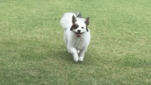 パピヨンが公園を走っている姿
