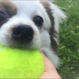 パピヨンが黄色いボールを加えて楽しそうにしている顔アップ画像