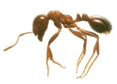 ヒアリの女王アリの習性が桁違い!1日の産卵数や巣に存在する数に驚愕!