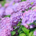 万博記念公園のあじさい祭の見頃や開花情報とアクセス!足湯やソラードもおすすめ!