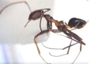 ハヤトゲフシアリ(ブラウジングアント)はヒアリみたいに毒はある?!特徴や繁殖力は?すでに巣が定着?!