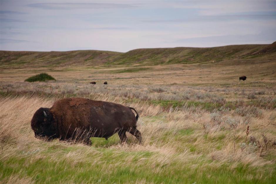 Plains bison roaming free in Grasslands National Park.