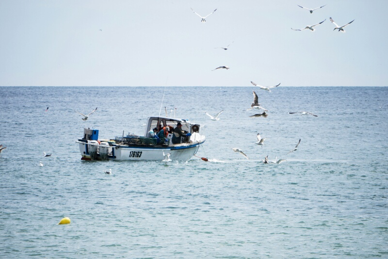 Northern gannets surrounding a fishing boat.