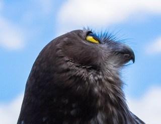 aussie-owl
